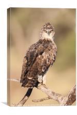 Tawney Eagle Juvenile (Aquila rapax), Canvas Print