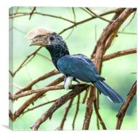 Silvery Cheeked Hornbill (Bycanistes brevis), Canvas Print