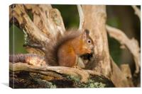 Red Squirell in his Tree House, Canvas Print