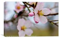 A cherry blossom, Canvas Print