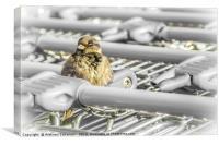 A fluffy sparrow on a shopping troley, Canvas Print