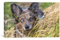A collie on field studies, Canvas Print
