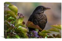Female Blackbird, Canvas Print