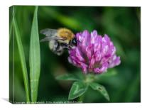 Bee and Clover, Canvas Print