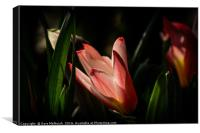 tulip shadowland, Canvas Print