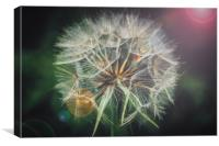 Giant dandelion seed head, Canvas Print