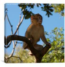 Baby Monkey, Canvas Print