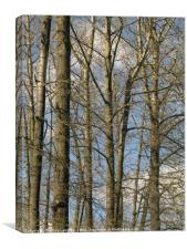 Cottonwoods along the Fraser, Canvas Print