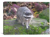 North American Raccoon., Canvas Print