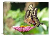 Giant Swallowtail Butterfly, Canvas Print