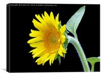 Small Sunflower, Canvas Print