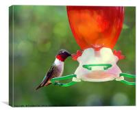 Ruby Throated Hummingbird, Canvas Print