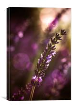 Lavendel, Canvas Print