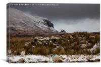 Scottish Blackface sheep, Quiraing. , Canvas Print