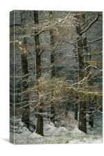 Larch in snow., Canvas Print
