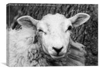 Nosey Sheep, Canvas Print