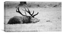 Resting my deer, Canvas Print