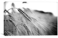 Black and White Barley Ears, Canvas Print