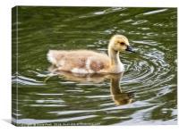 Canada Goose Gosling, Canvas Print