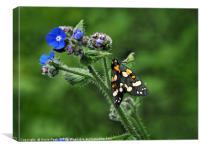 Scarlet Tiger Moth - Callimorpha Dominula, Canvas Print