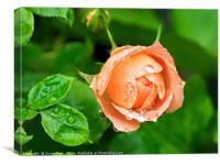 Peach Rose In The Rain, Canvas Print