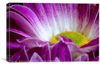 Chrysanthemum_001, Canvas Print