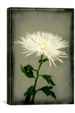 White Chrysanthemums, Canvas Print