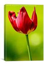 Spring Red Tulip, Canvas Print