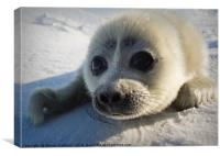 Baikal seal puppy, Canvas Print