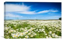 Chamomile field in summer sunny day, Canvas Print