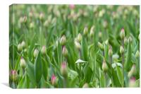 Young tulips field, flower background.