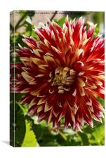 Blooming Dahlia Bud, Canvas Print