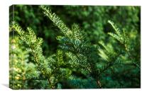 green spruce branches, Canvas Print