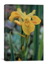 Yellow Iris Flower, Canvas Print