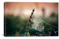 Cobweb in frost at morning. Ice on the spider's we, Canvas Print