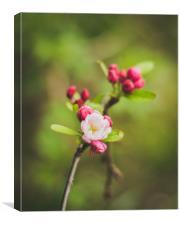 Pink blossom, Canvas Print