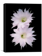 Flowers of cactus, Canvas Print