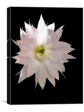 Flower of cactus, Canvas Print