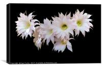Flowers of cactus isolated on black, Canvas Print