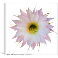Flower of cactus on white, Canvas Print