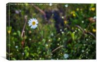 Daisy Droplets, Canvas Print