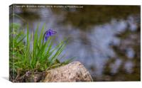 Lonely Bluebell, Canvas Print