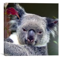 Koala, Canvas Print