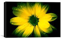 Chrysanthemum., Canvas Print