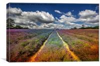 Lavender Meadow., Canvas Print
