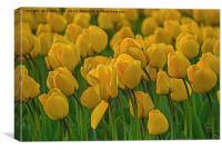 Tulip., Canvas Print