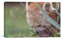 Red Panda., Canvas Print