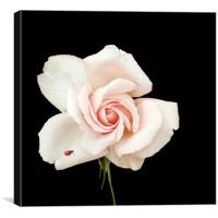 Rose and a ladybird, Canvas Print