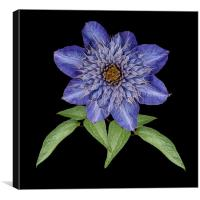 Blue Clematis, Canvas Print