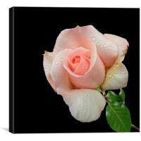 A Pink Rose, Canvas Print